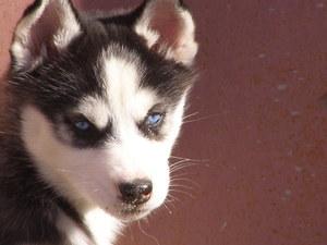 чудесные щенки сибирских хаски.